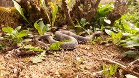 Serpente no solo seco imagens de stock royalty free