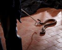 Serpente - o encantador está travando a cobra mortal Imagens de Stock Royalty Free