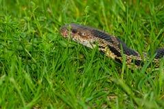 Serpente oriental do Fox Fotos de Stock