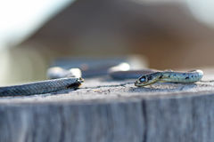 Serpente orientale australiano velenoso micidiale di Brown Fotografia Stock Libera da Diritti