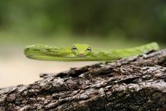 Serpente orientale dell'albero Fotografie Stock Libere da Diritti