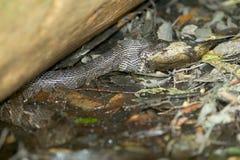 Serpente peçonhento que come peixes imagens de stock