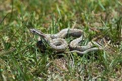 Serpente pequena Imagem de Stock