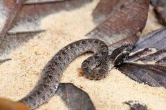 Serpente perigosa Malayan de Pit Viper em Tailândia e em 3Sudeste Asiático Fotos de Stock