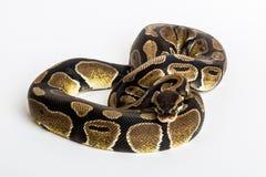 Serpente: Pitão real Imagens de Stock