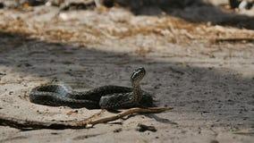 A serpente prepara-se para o ataque vídeos de arquivo
