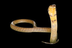 Serpente preta da cobra foto de stock