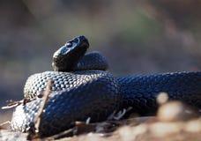 A serpente preta na floresta nas folhas ondulou acima na bola vi Imagem de Stock