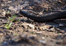 A serpente preta na floresta nas folhas rasteja afastado Foto de Stock Royalty Free