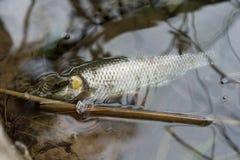 Serpente que come um peixe Fotografia de Stock Royalty Free