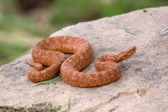 Serpente que descansa na rocha Fotografia de Stock Royalty Free