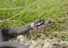 Serpente que engole a râ Imagem de Stock