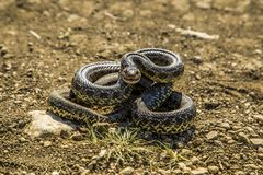 Serpente que prepara-se para jogar foto de stock