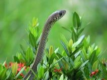 A serpente que procura reza Imagens de Stock