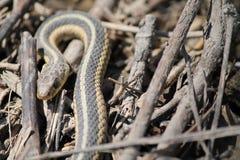 Serpente in ramoscelli Immagini Stock Libere da Diritti