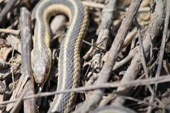Serpente in ramoscelli Fotografia Stock Libera da Diritti