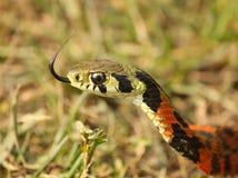 Serpente raro Ritratto Tigrinus di Rhabdophis fotografia stock libera da diritti