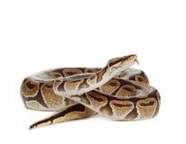 Serpente reale del pitone Fotografie Stock