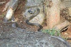 Serpente rodeado Foto de Stock