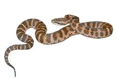 Serpente (saxatilis do Agkistrodon)  imagem de stock