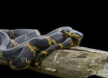 Serpente (schrenckii do Elaphe) 8 foto de stock royalty free