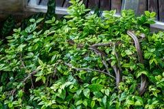 Serpente sobre uma árvore Mucosa indiana do Ptyas da serpente de rato imagens de stock