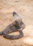 Serpente Sri Lanka della cobra fotografie stock libere da diritti