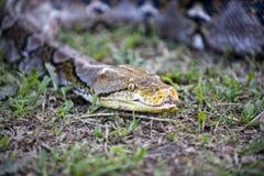 Serpente strisciante Immagine Stock