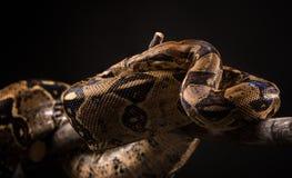 Serpente su fondo nero Fotografia Stock