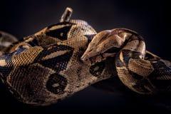 Serpente su fondo nero Fotografia Stock Libera da Diritti