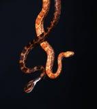 Serpente su fondo nero Fotografie Stock Libere da Diritti