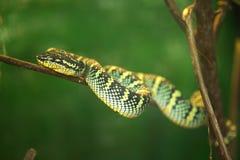 Serpente su un albero Fotografia Stock Libera da Diritti