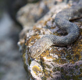 Serpente sulla roccia Immagini Stock