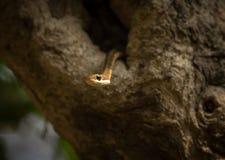 Serpente suportada bronze da árvore imagem de stock