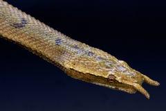 Serpente Tentacled (tentaculatum de Erpeton) Imagem de Stock Royalty Free