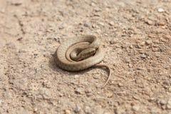 Serpente in una posizione difensiva Immagine Stock