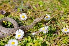 Serpente, víbora Foto de Stock Royalty Free
