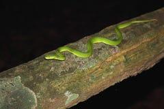 serpente velenoso del tergicristallo Bianco-lipped del pozzo Fotografia Stock