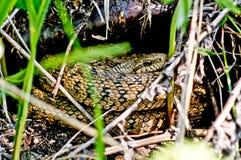 Serpente velenoso di erba asciutta e delle foglie. Fotografie Stock Libere da Diritti