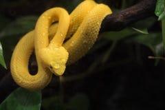 Serpente velenoso giallo sull'albero Fotografie Stock