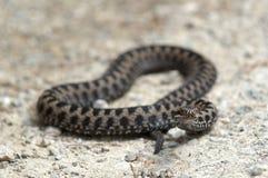 Serpente venenosa da víbora Imagem de Stock