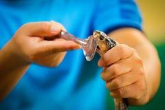 Serpente venenosa na mão da criança que vai mordê-lo imagens de stock royalty free