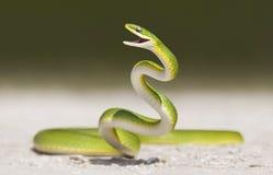 Serpente verde áspera (aestivus do Opheodrys) Fotografia de Stock