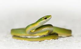 Serpente verde áspera (aestivus do Opheodrys) Imagens de Stock Royalty Free