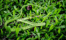 Serpente verde áspera pequena Imagem de Stock Royalty Free