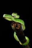 serpente verde Immagini Stock Libere da Diritti