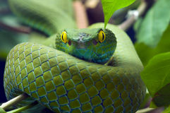 Serpente verde immagine stock