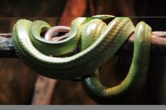 Serpente verde Fotografia Stock Libera da Diritti