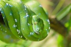 Serpente verde Imagens de Stock