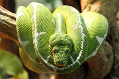 Serpente verde imagem de stock royalty free
